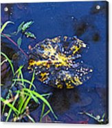 Evening Encloses The Aging Lily Pad Acrylic Print