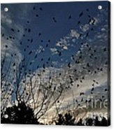 Evening Flock Acrylic Print