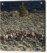 Evening Herd Of Elk   #7640 Acrylic Print