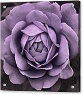 Evening Lavender Rose Flower Acrylic Print