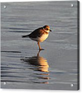 Evening Plover Acrylic Print
