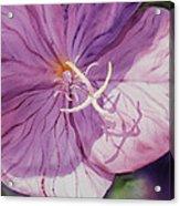 Evening Primrose Flower Acrylic Print