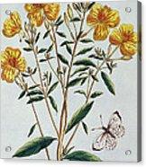 Evening Primrose Acrylic Print
