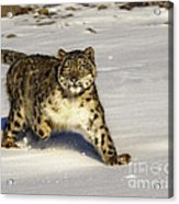 Evening Prowl Acrylic Print