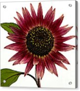 Evening Sun Sunflower 2 Acrylic Print