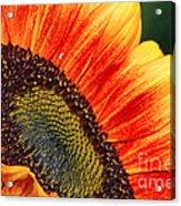 Evening Sun Sunflower Acrylic Print