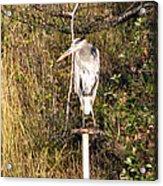 Ever Watchful Blue Heron Acrylic Print
