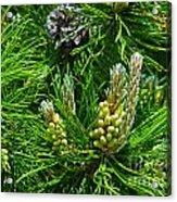 Evergreen Acrylic Print