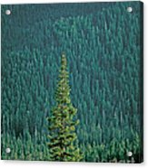 Evergreen Trees Acrylic Print