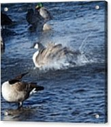 Everyone Duck Acrylic Print