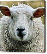 Ewe's Just Fluffy Acrylic Print