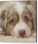 Exhausting Being A Puppy Acrylic Print