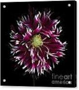 Exotic Dahlia Acrylic Print