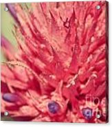 Exploding Pink Flower Acrylic Print