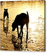 Exploring At Sunset Acrylic Print