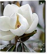 Exquisite Magnolia Acrylic Print