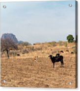 Extensive Cow Farming On Corn Field Acrylic Print