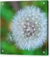 Extra Little Dandelion Wish Acrylic Print