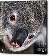 Eye Am Watching You - Koala Acrylic Print