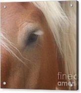 Eye Of A Belgian Horse Acrylic Print