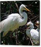 Eye Of The Egret Acrylic Print
