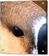Eye Of The Gander Acrylic Print
