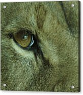 Eye Of The Lion Acrylic Print