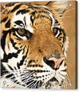 Eye Of The Tiger. Acrylic Print