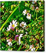 Eyebright On Trout River Trail In Gros Morne Gros Morne National Park-newfoundland  Acrylic Print