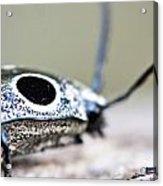 Eyed Click Beetle Acrylic Print