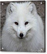 Eyes Of The Arctic Fox Acrylic Print