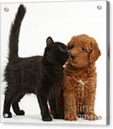 F1b Goldendoodle Pup With Kitten Acrylic Print