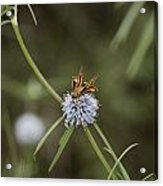 Fa-18ef Super Hornet Moth Acrylic Print