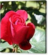 Fabulous Red Rose Acrylic Print