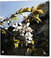 Facades And Fruit Trees - The Church And The Plum Acrylic Print