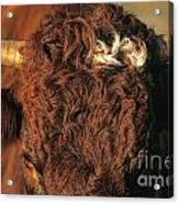 Face Of A Cow Salers. Auvergne . France Acrylic Print by Bernard Jaubert