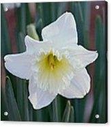 Face Of A Daffodil Acrylic Print
