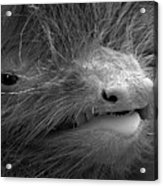 Face Of A Pipistrelle Bat Acrylic Print