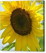 Face To Face With A Sunflower Acrylic Print