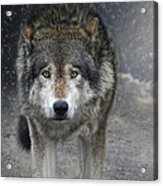 Face To Face With The Wolf Acrylic Print
