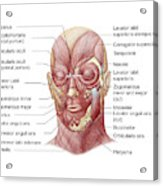 Facial Muscles Of The Human Face Acrylic Print