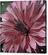 Faded Pink Dahlia Acrylic Print