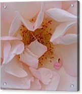 Faintly Pink - Rose Acrylic Print