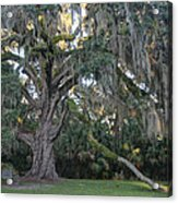 Fairchild Oak With Sunbeam Acrylic Print