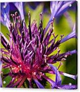 Fairy Dust - Centaurea Acrylic Print