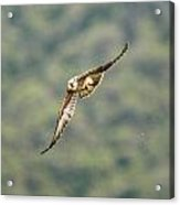 Falcon Acrylic Print