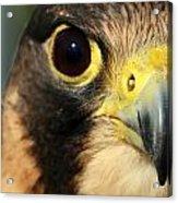 Falcon Focus Acrylic Print