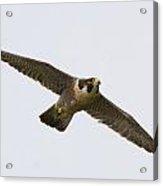 Falcon Glide Acrylic Print
