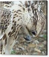 Bowing Falcon Acrylic Print