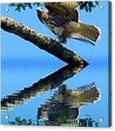 Falcon Reflect Acrylic Print